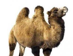 Deux bosses... c'est un chameau !