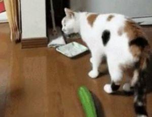 Les chats ont-ils vraiment peur des concombres ?