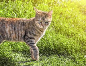 Les chats sauvages sont de vrais prédateurs