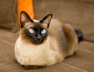 Adopter un chat : le Siamois