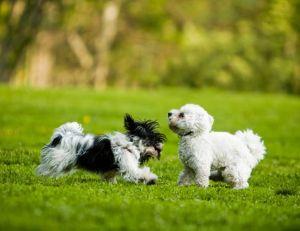 Pourquoi choisir un chien de petite taille