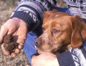 Chien truffier utilisé pour la recherche des truffes