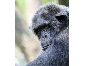 Pan, chimpanzé