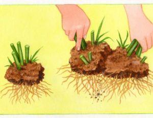 Diviser les plants de chrysanthèmes