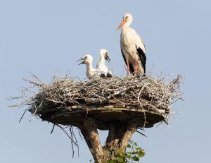 L'effort de préservation et de protection des cigognes en Alsace a porté ses fruits
