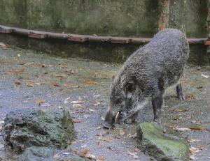 Des cochons sauvages ont envahi Fukushima