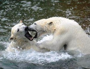Les ours blancs sont armés pour inspirer le respect