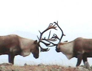 Combat durant le brame entre deux caribous mâles © bonjourquebec.com