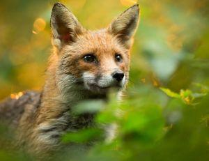 Comment éviter l'intrusion des renards et des chats dans votre poulailler ?