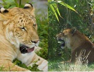 Un jeune ligron et un tigron adulte