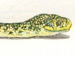 Couleuvre jaune et verte