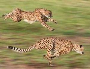 Un guépard peut courir à plus de 100 km/h