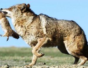 Le chien de prairie est souvent la proie des coyotes