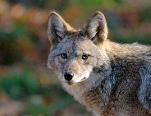Coyote mâle