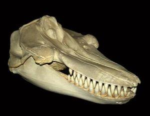 Squelette du crâne d'un orque