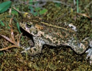 Crapaud calamite - ©Outback Images
