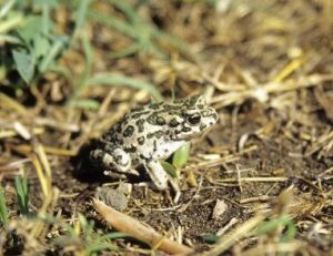 Crapaud vert - ©Outback Images