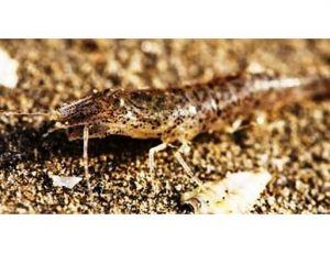 La crevette grise vit sur les fonds sableux