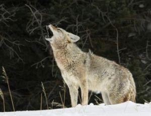 Coyote : tout savoir sur les coyotes | Pratique.fr