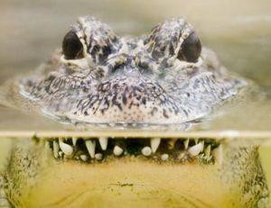 Crocodile à l'affut à la surface de l'eau