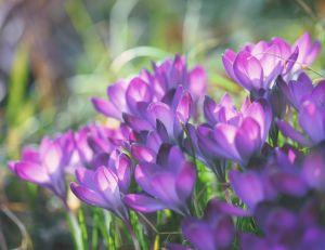 Fleurs vivaces et annuelles : les différencier