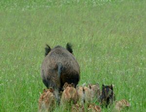Les sangliers sont des animaux grégaires ©Colette Mangin