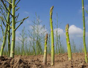 Cultiver des asperges