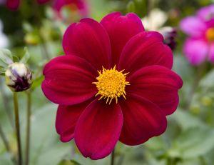 Planter et cultiver des dahlias