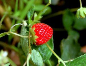Comment cultiver des fraises ?