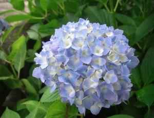 Planter et entretenir des hortensias