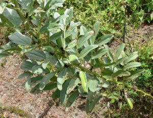 Fèves : semer, cultiver, récolter des fèves