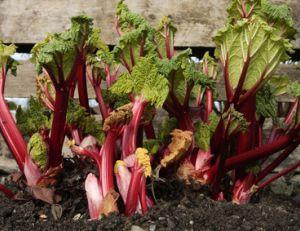 Comment cultiver de la rhubarbe ?
