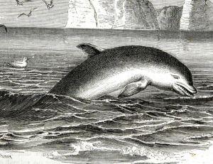 """Dauphin """"souffleur"""", gravure du 19<sup>ème</sup> siècle"""