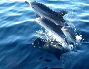 Un jeune dauphin peut rester 4 ans aux côtés de sa mère