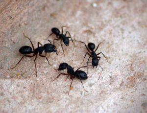 Eloigner les fourmis de chez soi