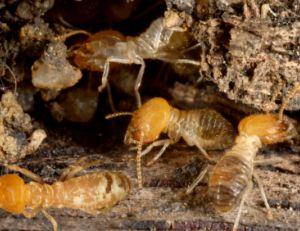 Chasser les termites de la maison