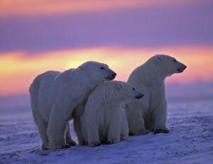Famille d'ours polaires dans la lumière d'un crépuscule arctique