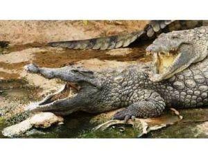 Crocodiles adultes