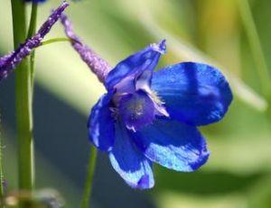 Delphinium bleue