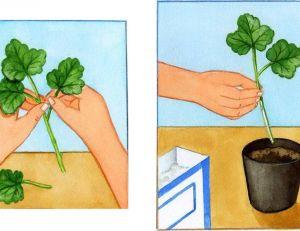 Conservation des geraniums