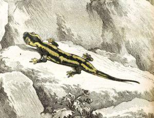 La salamandre et les Hommes