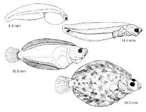 Evolution d'une larve d'un alevin de flétan