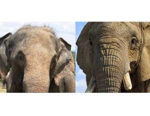 Eléphant d'Asie et éléphant d'Afrique