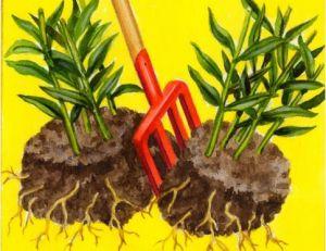 Diviser des plantes vivaces