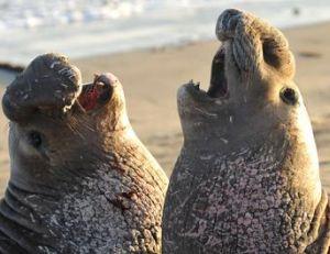 Eléphant de mer ou phoque éléphant ?