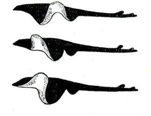 La raie vole plus qu'elle nage, schéma décomposant son mouvement natatoire