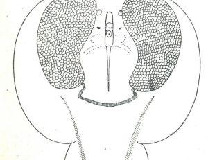 Corps discoïdal d'une torpille, disséqué pour monter ses deux organes électriques d'aspect aréolaire