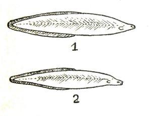 Développement d'une larve leptocéphale (anguille) à ses deux premiers stades