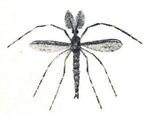 Chironome dont la larve connue sous le nom de vaseux est la nourriture principale des goujons