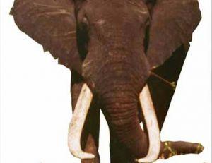 L'éléphant Dzombo